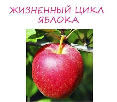 жизненный цикл яблока