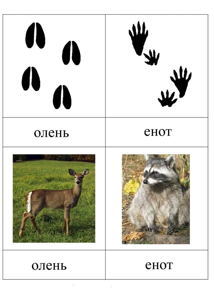 Следы оленя и следы енота