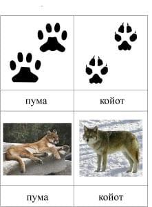 Следы пумы и следы койота