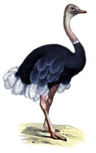 страус картинка для детей 2
