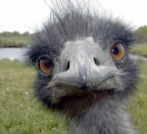 страус картинка для детей 3