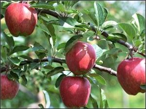 яблоня картинка