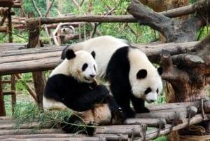 фотография панда
