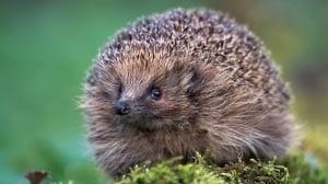 photo hedgehog for children 5