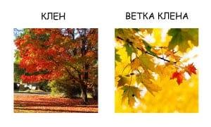 Ветка клена и лист клена