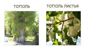 Ветка тополя и лист тополя