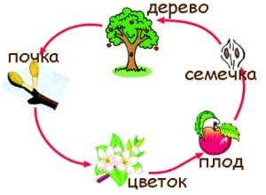 Как растет дерево?