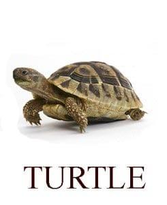 Черепаха на английском для детей