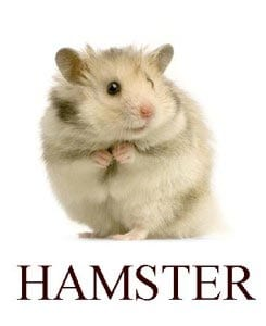 Hamster in English for kids