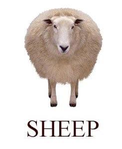 Овца на английском для детей