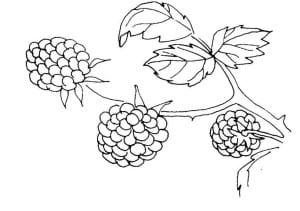 Три ягоды ежевики