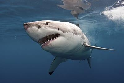 Настоящая акула