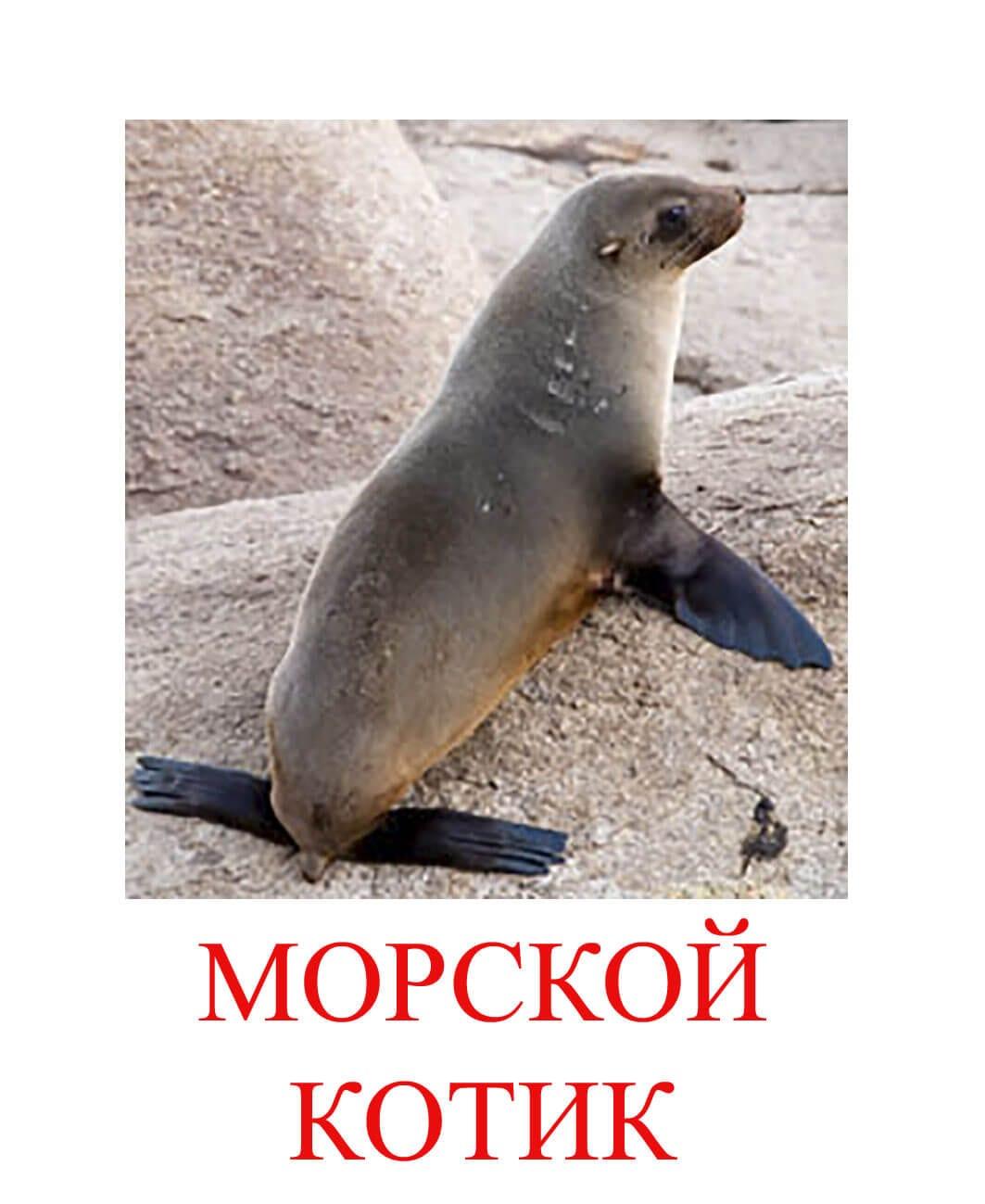 морской котик картинки для детей
