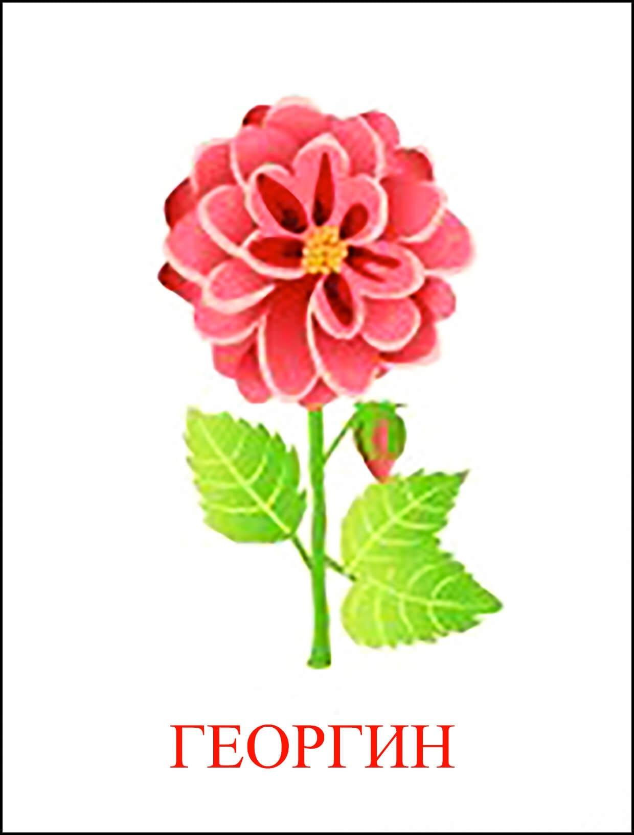 Рисунок цветка георгина