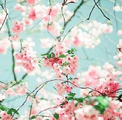 Цветение яблони фото