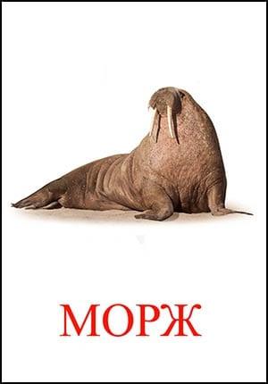 морж картинка для детей