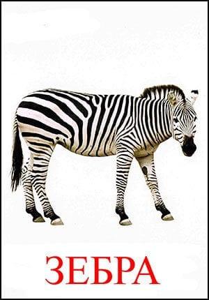Зебра картинка для детей