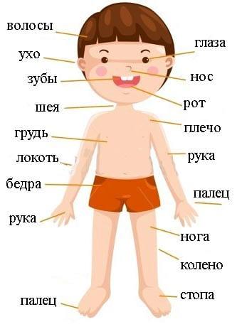 Строение человека для детей