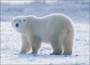 Белый медведь картинка для детей 2