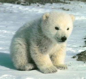 Белый медвежонок 2