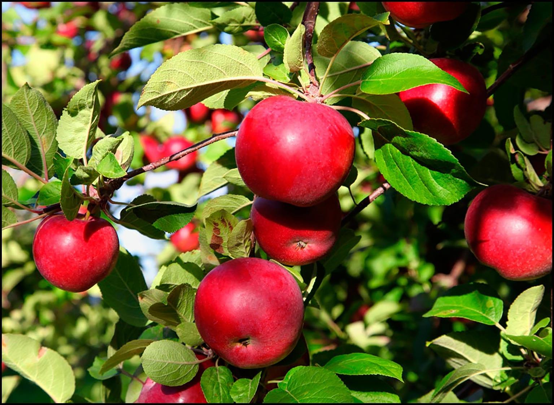 Яблоко картинка для детей