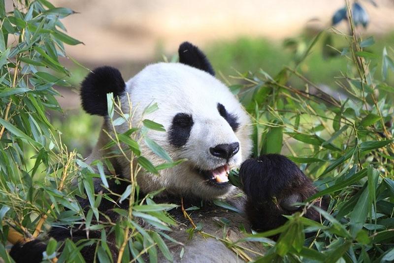Фотография панда и эвкалипт