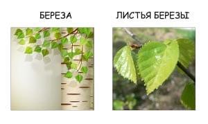 Ветка березы и листья березы