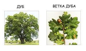 Ветка дуба и лист дуба