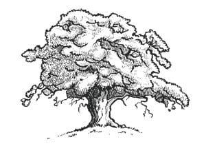 раскраска дуб