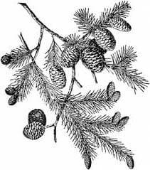 Внутреннее строение стебля дерева; таблица и рисунок для 6 класса