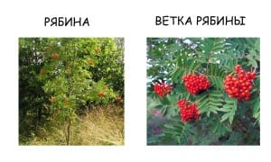 Ветка рябины и листья рябины