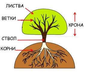 Строение дерева для детей