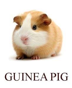 Морская свинка на английском для детей