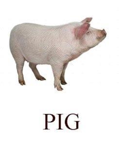 Свинья на английском для детей