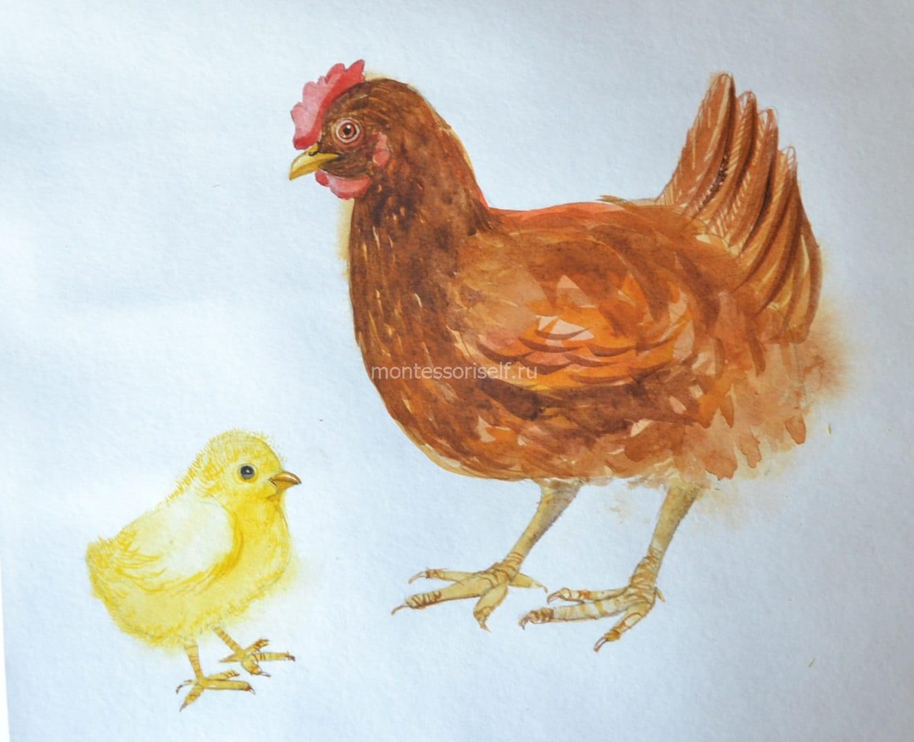 Раскрашиваем курочку и цыпленка