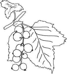 Ветка смородины