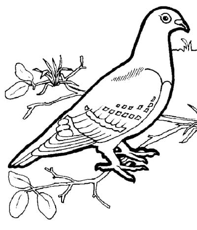 Раскраска голубь