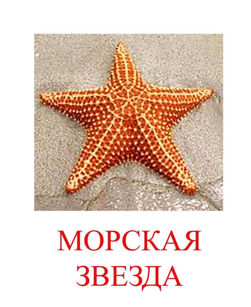 морская звезда картинка для детей
