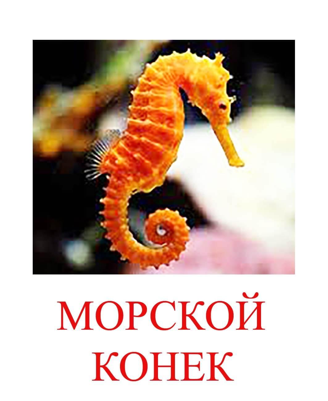 морской конек картинка для детей