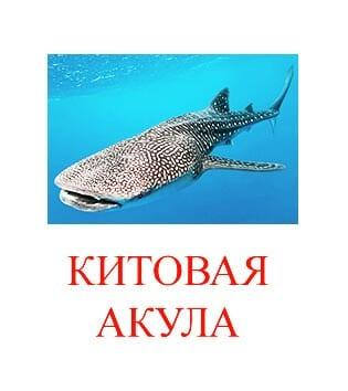 Китовая акула картинка для детей