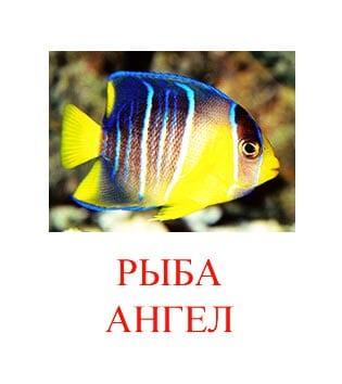 Рыба ангел картинка для детей