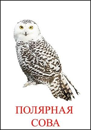 Полярная сова картинка для детей