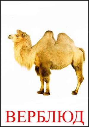 верблюд картинка для детей