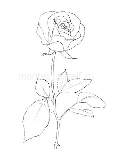 "Рисунок карандашом ""роза"""